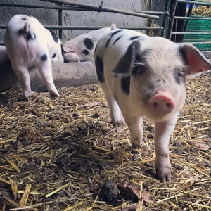 Free-Range Pork - Rough Hill Farm Shop