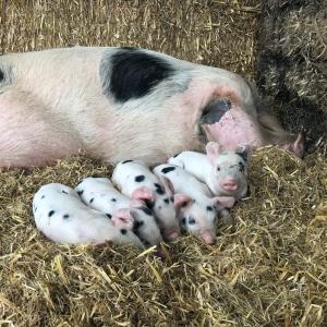 Our Pigs - Rough Hill Farm, Redditch
