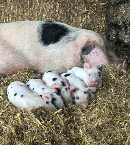 Our Pigs - Rough Hill Farm, Redditch